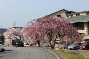 siawasenosato sakura