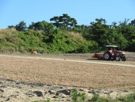後はらっきょ畑。トラクターが似合いますね。