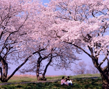 tizu sakura