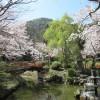 打吹公園の桜満開!花見へ行ってきた♪